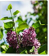 Violet Lilacs And A Bee Canvas Print