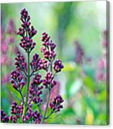 Violet Lilacs Budding Canvas Print