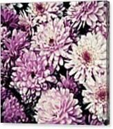 Violet Mums Canvas Print