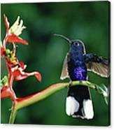 Violet Sabre-wing Hummingbird Canvas Print