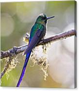 Violet-tailed Sylph Canvas Print