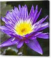 Violet Water Lily Canvas Print