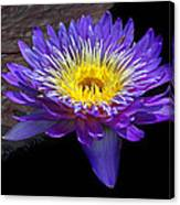 Violet Waterlily Canvas Print