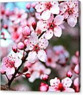 Virginia Cherry Blossom Canvas Print