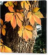 Virginia Creeper Autumn Color Canvas Print