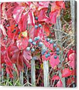 Virginia Creeper Fall Leaves And Berries Canvas Print
