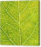 Virginia Creeper Leaf Canvas Print