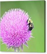 Visitor On Thistle Canvas Print
