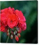 Vividly Red Geranium Canvas Print