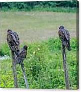 Vulture Fence Line 3 Canvas Print