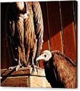 Vulture Male Canvas Print
