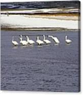 Wading Swans 2 Canvas Print