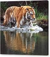 Wading Tiger Canvas Print