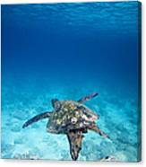 Turtle Soar Canvas Print