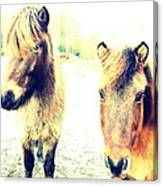 Eager Horses Waiting For Their Simple Dinner Canvas Print