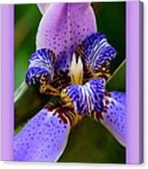 Walking Iris With Purple Border Canvas Print