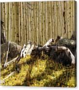 Wall Of Aspens  Canvas Print