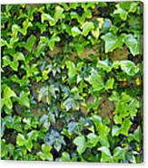 Wall Of Ivy Canvas Print