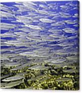 Wall Of Silver Fish Canvas Print