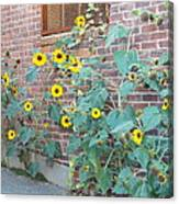 Wall Of Sunflowers 1 Canvas Print