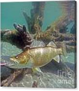 Walleye And Dardevle Canvas Print