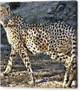 Wandering Cheetah Canvas Print