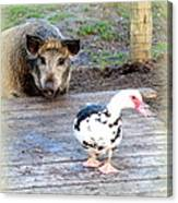 The Pig Want To Be Your Friend, Mr Duck  Canvas Print