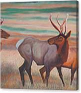 Wapiti  In Sunset Glow Canvas Print