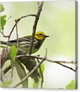 Warbler - Black-throated Green  Canvas Print