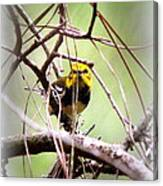 Warbler - Black-throated Green Warbler Canvas Print