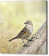 Warbler In Morning Light Canvas Print
