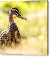 Warm Summer Morning And A Duck Canvas Print