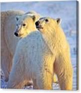 Wary Polar Bears Canvas Print