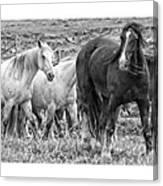 Wary Stallion Canvas Print
