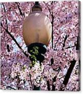 Washington Cherry Blossoms And A Lantern Canvas Print