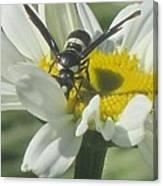 Wasp On Daisy Canvas Print