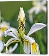 Wasp On White Iris Canvas Print