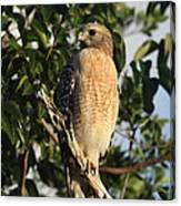 Watchful Eyes - Red Shouldered Hawk Canvas Print