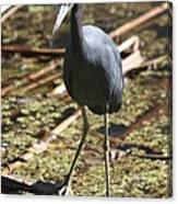 Watchful Little Blue Heron  Canvas Print