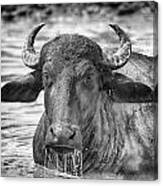 Water Buffalo-black And White Canvas Print