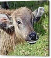 Water Buffalo Calf Canvas Print