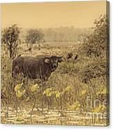 Water Buffaloes At Corroboree Billabong V2 Canvas Print