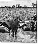 Water Buffaloes-black And White Canvas Print