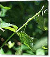 Water Droplets #1 Canvas Print
