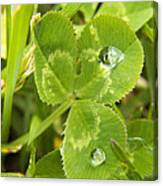 Water Droplets On Clover Canvas Print