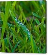 Water Drops On The  Grass 0016 Canvas Print