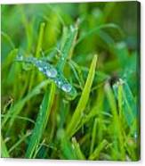 Water Drops On The  Grass 0018 Canvas Print