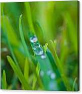 Water Drops On The  Grass 0021 Canvas Print