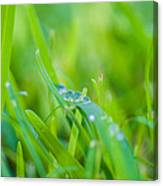 Water Drops On The  Grass 0025 Canvas Print