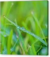 Water Drops On The  Grass 0026 Canvas Print